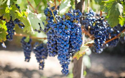 5 curiosità sul vino che forse non conosci